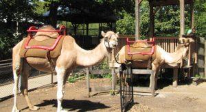 CamelSafari